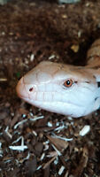 Blue tongue skink and cage!