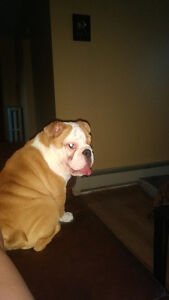 5 month old English bulldog Puppy for sale