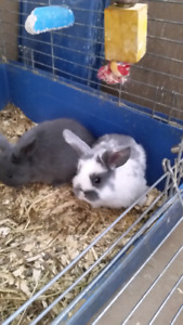 Adorable Mini Lop baby bunny rabbits now ready!