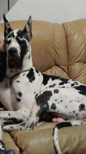 CKC Registered Great Dane Black Female payment plan available