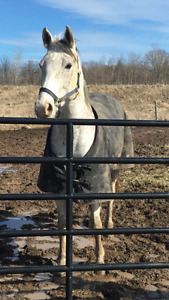 9-YO APPENDIX SPECKLED GREY 15'2 GELDING PART BOARD BURLINGTON