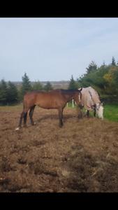 15.3hh former lesson mare.