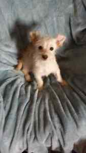 Price Reduced Small Puppies Yorkshire Terrier x Chihuahua