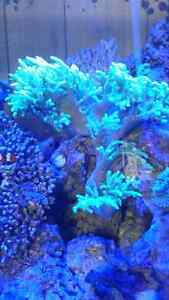 Green leather coral
