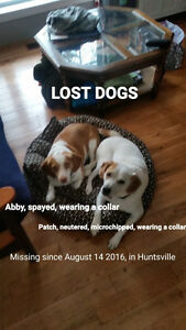2 Lost Beagle Crosses from Huntsville Ontario