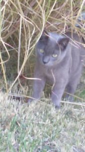BEAUTIFUL GREY CAT FOUND - PLEASE COME GET HIM