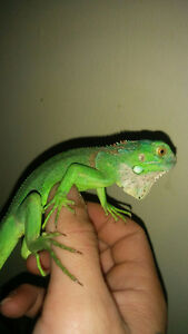 Red and green iguanas Reefs N Reptiles Kingston Kingston Area image 1