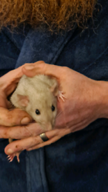 Young hand tame dumbo rats for sale