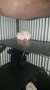 Free baby albino male rats