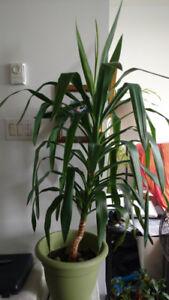 Indoor plant-Yucca