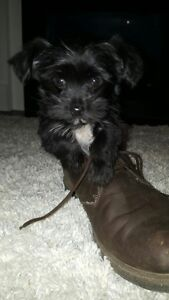 """Micro Morkie - Maltese X Yorkie """"Timmy, nonshed & hypoallergenic"""