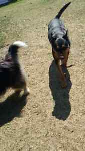 Dino: 5 year old Kelpie male. Neutered & very friendly.