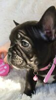 CKC French Bulldog Puppies