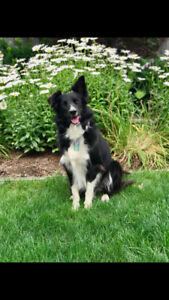 Female Border Collie Looking for a Loving Home