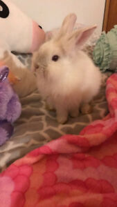 Angora bunny for rehoming