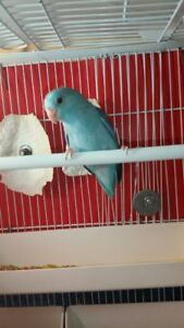 HAND FEED BABY & ADULTS PARROTLERS FOR SALE.