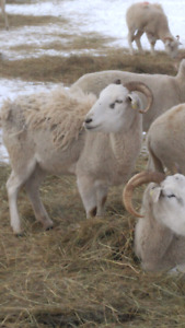 Wiltshire horned ewes