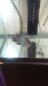 51 gallon tank, stand and male blue flowerhorn$200