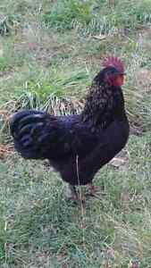 Beautiful Australorp/IsaRed Cross Rooster