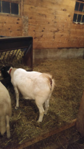 Boer goat for sale and 4 lambs