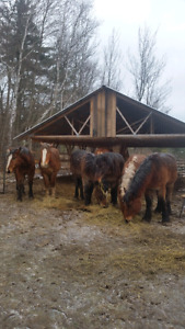 Draft colts yearlings &2 year olds