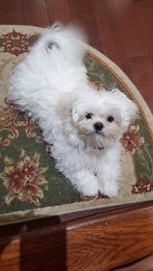 white malshi puppy