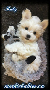 ❤️ Top Quality Morkie Babies AVAILABLE SOON! ❤️