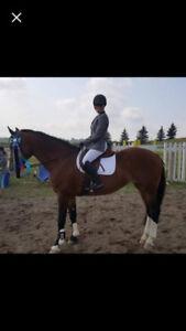IVY 16.1hh draftX hunter/jumper mare