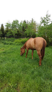2013 Registered AQHA Mare For Sale