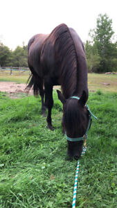 3 year old broke mare