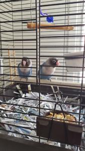vends couple inséparable bleu masqué