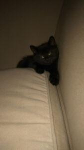 Petit chaton a vendre