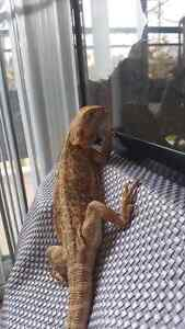 Leatherback bearded dragon Kitchener / Waterloo Kitchener Area image 3