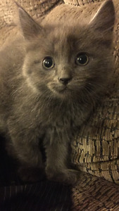 RAGDOLL / RUSSIAN BLUE KITTENS!!