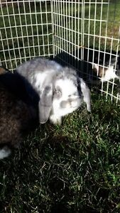 Purebred French Lop buck