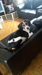 """Beagle Mâle à Vendre!! """"Luffy"""""""