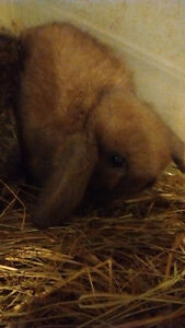 Holland lop bunnies and cages
