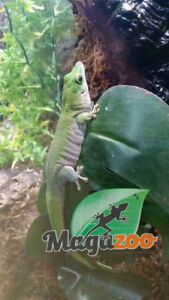Gecko Diurne Kochi, Magazoo l'univers des reptiles