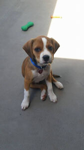 12 week old beagle x spaniel puppy for sale (MALE)