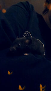 Looking for rats! (especially hairless!) and rat products!