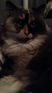 Rag doll Himalayan adult female for rehome