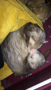 Brother and sister ferrets for sale