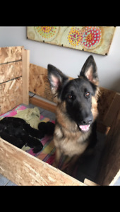 GERMAN SHEPHERD PUPS ONLY THREE LEFT !