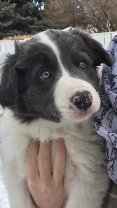 RARE Blue Marble Border Collie puppy