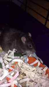 Fancy rats free to good home Windsor Region Ontario image 3