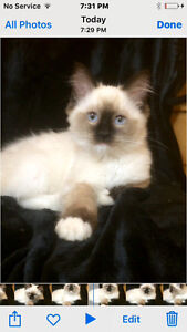 TICA registered seal mitted Ragdoll
