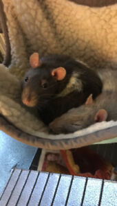 Two sweet, social female rats to give away