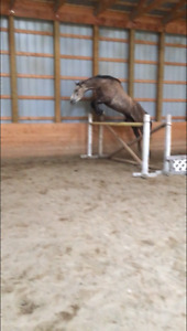 4yr old Andalusian cross gelding