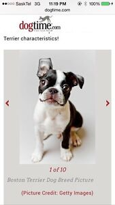 Looking for *** BOSTON TERRIER PUPPY