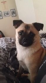 13 month old male pug for sale - £250!